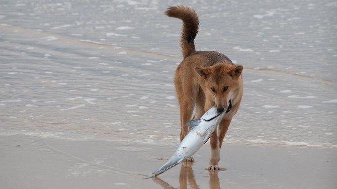 собака поймала рыбу