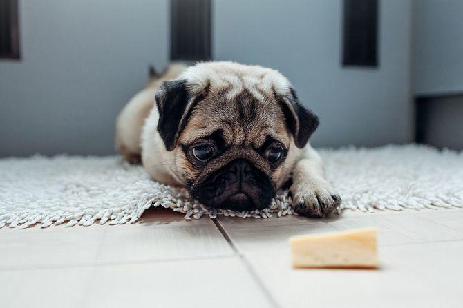 собака и сыр