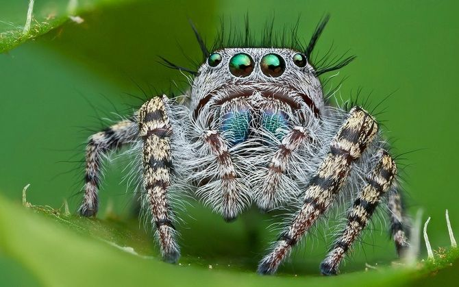 Павук-скакун