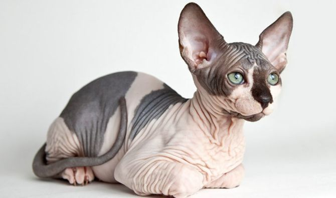 Сфинкс кот