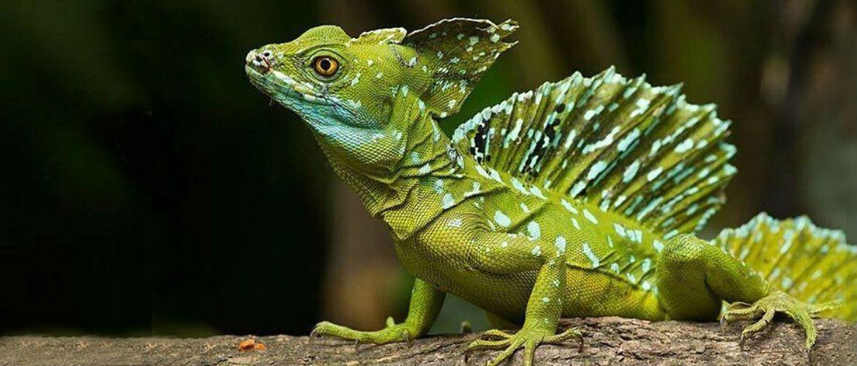 Правнуки драконів: 10 найдивовижніших ящірок планети