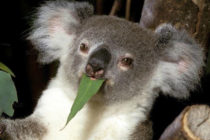 коала ест листок