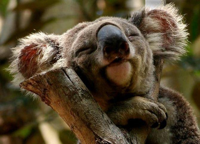 спляча коала