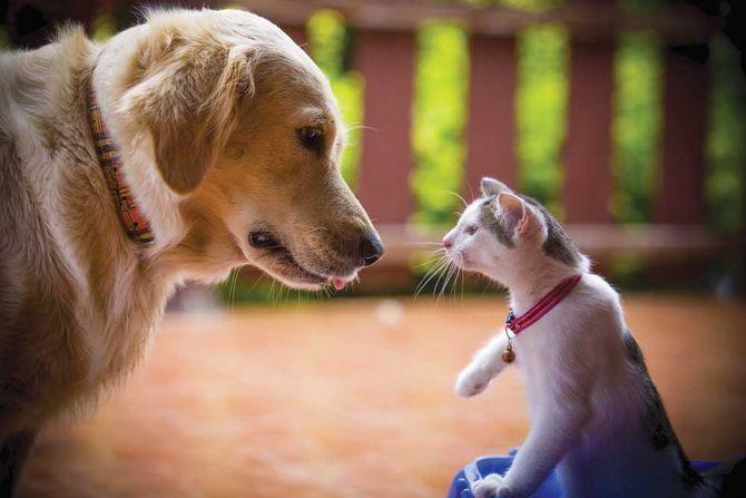лабрадор и кот