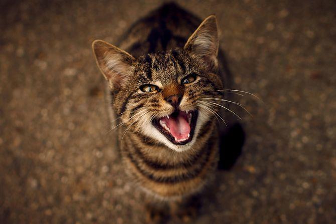 кот нявчить