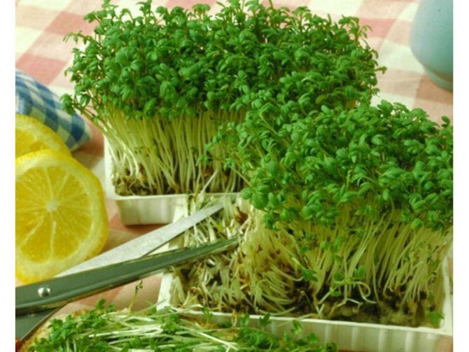 Крес-салат та петрушка
