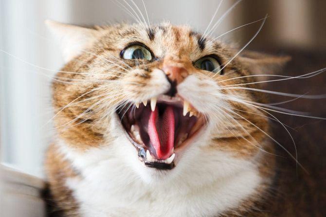 кіт Сичання