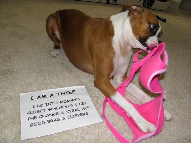собака і бюстгальтер