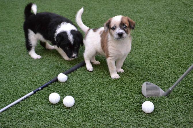 собака гольф