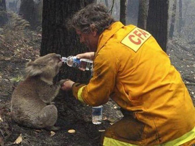 коала п'є воду