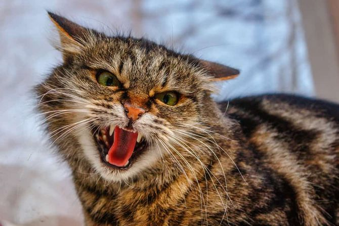 кот ворчит