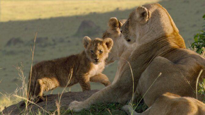 Найцікавіші фільми про левів, від яких неможливо відірватися 6