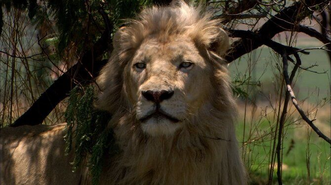 Найцікавіші фільми про левів, від яких неможливо відірватися 5