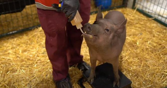 Илон Маск чипировал свинью и рассказал, как Neuralink поможет лечить нейронные заболевания 2