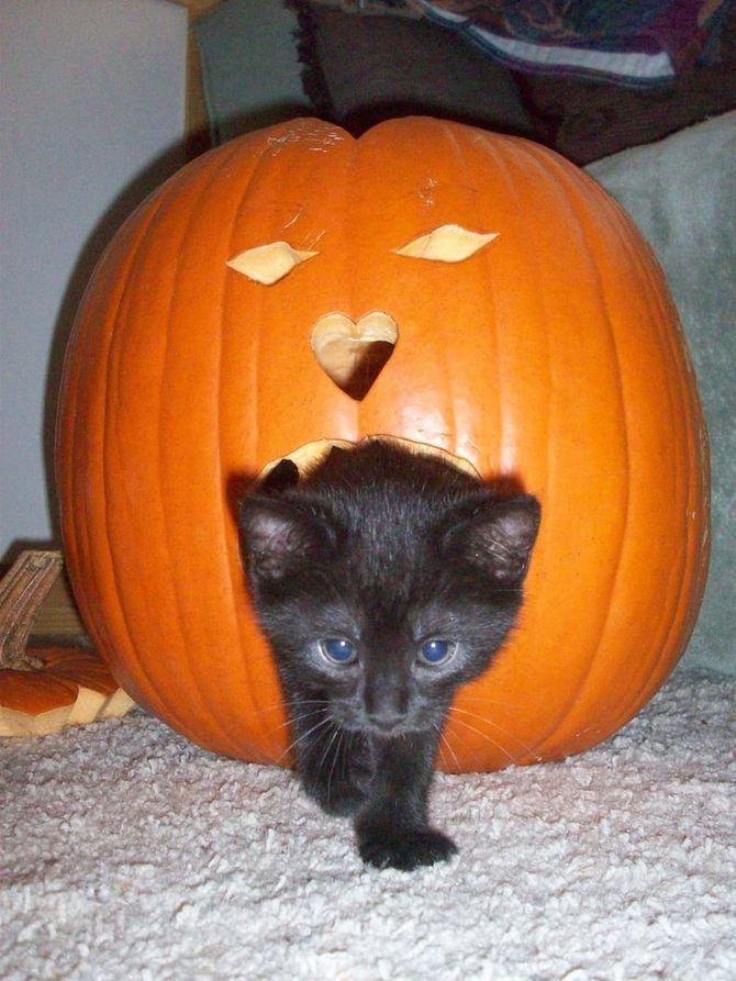 Страшенно милі: коти і Геловін 5