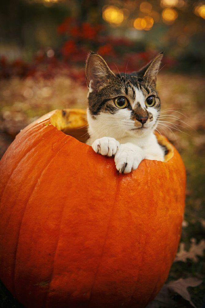 Страшенно милі: коти і Геловін 9