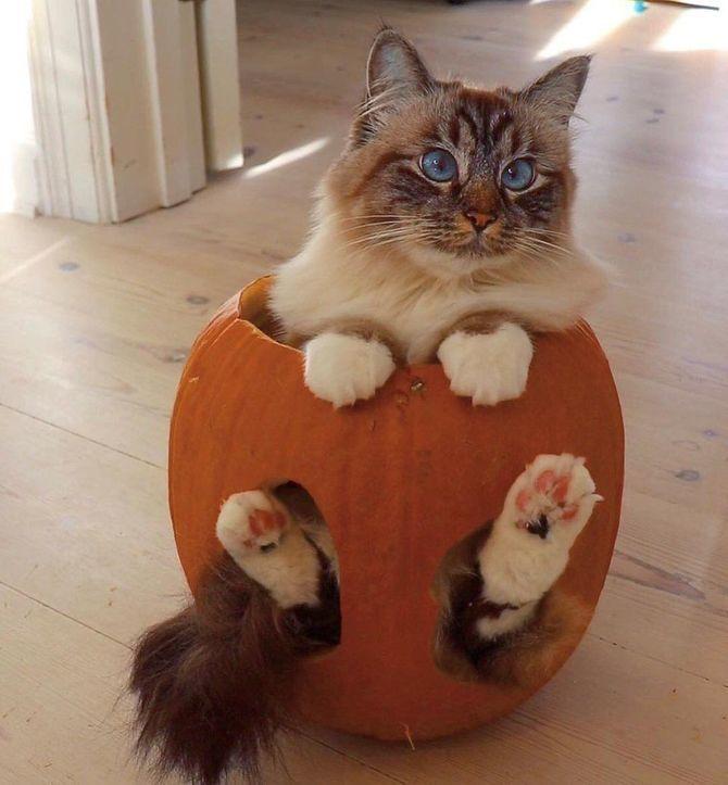 Ужасно милые: коты и Хэллоуин 8
