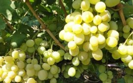 Характеристика и особенности посадки винограда «Талисман»