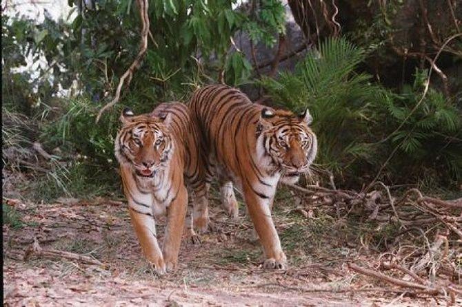 Полосатые хищники: лучшие фильмы о тиграх 4