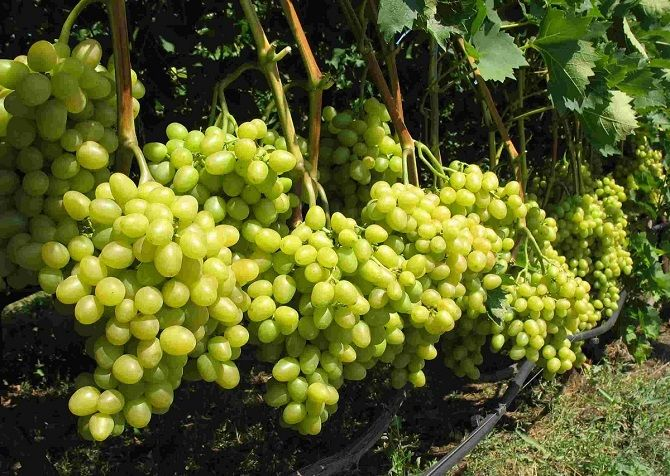 Характеристика и особенности посадки винограда «Талисман» 1