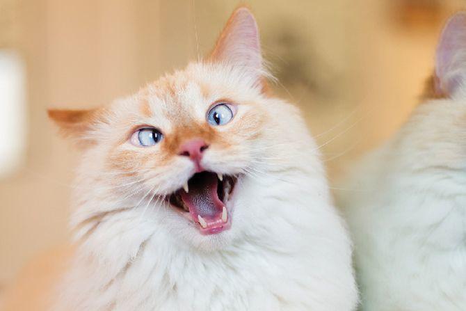 36 дивовижних фактів про кішок 2