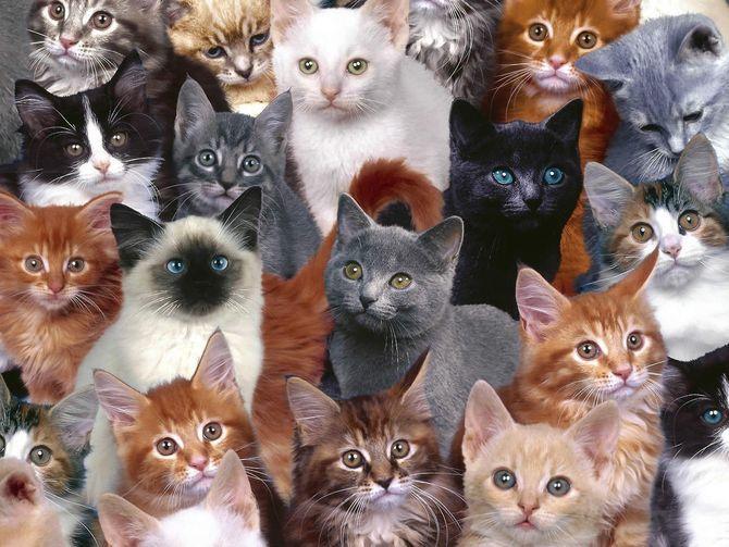 36 дивовижних фактів про кішок 13