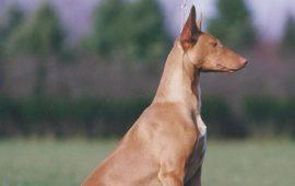 5 найбільш рідкісних порід собак на планеті