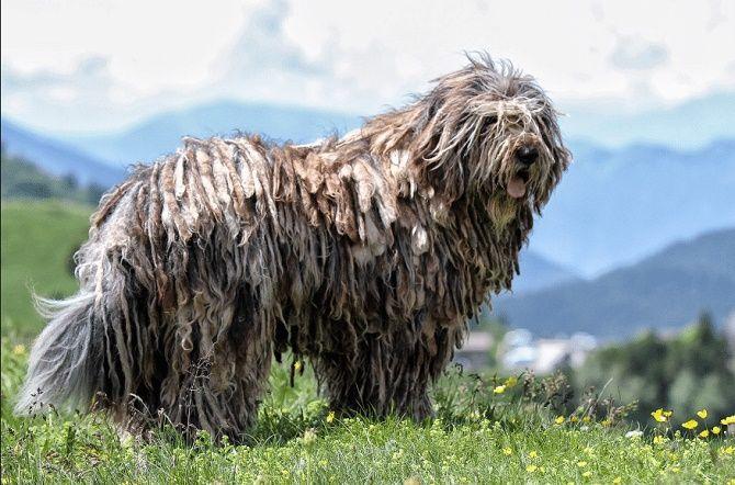 5 самых  редких пород собак на планете 2