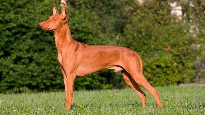 5 самых  редких пород собак на планете 3