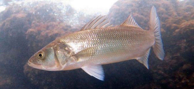 10 видів риби, яку краще не їсти 2