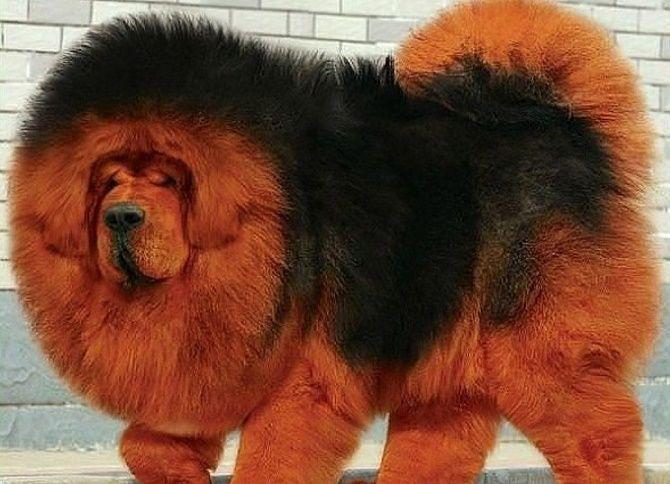 5 самых  редких пород собак на планете 5