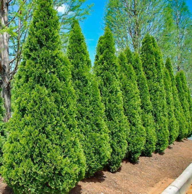 Хвойные деревья в ландшафтном дизайне дома 1