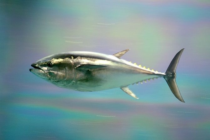 10 видів риби, яку краще не їсти 5