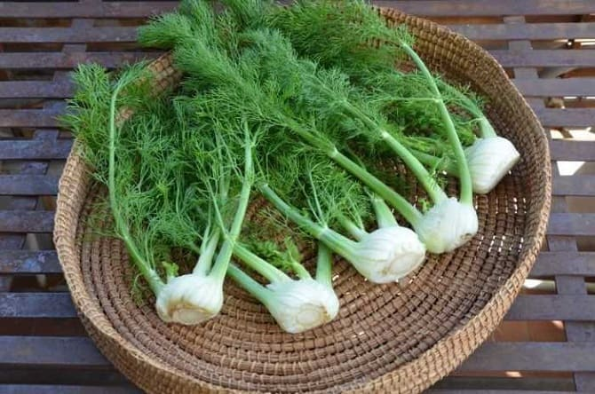 Фенхель – что это за овощ и зачем его едят осенью 1