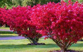 Береклест – декоративный кустарник для украшения сада
